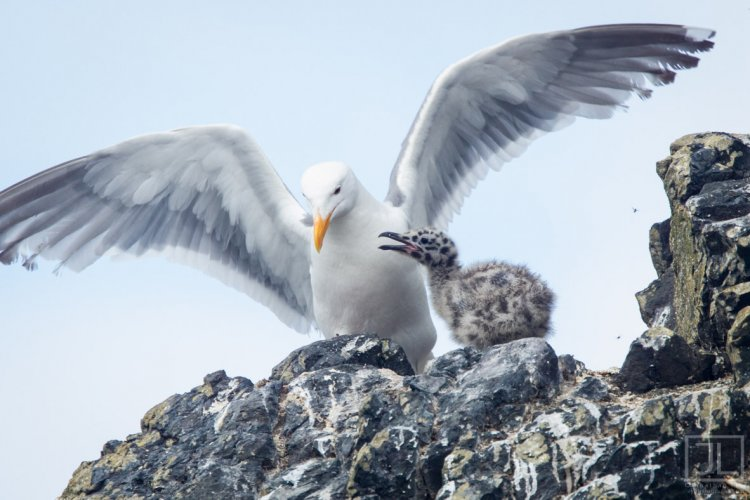 Western Gull and chick