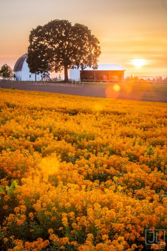 Wallflower Sunset